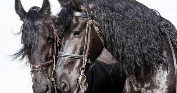 MANEGE HORSES